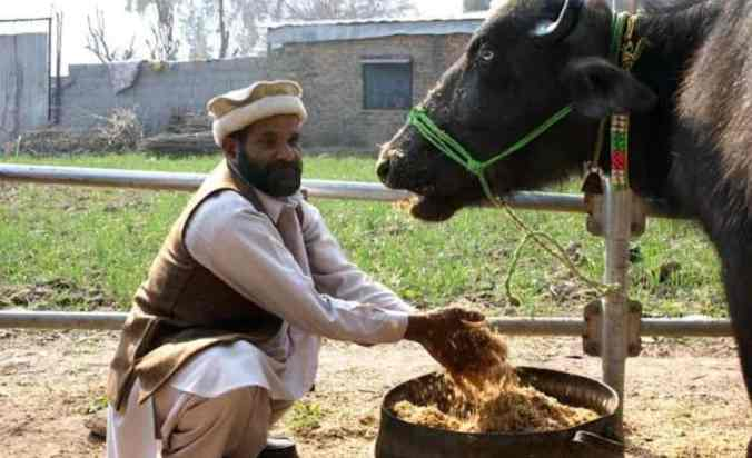 Pakistani-Cow-Farmer-Public-Domain